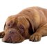 french mastiff dog isolated on white