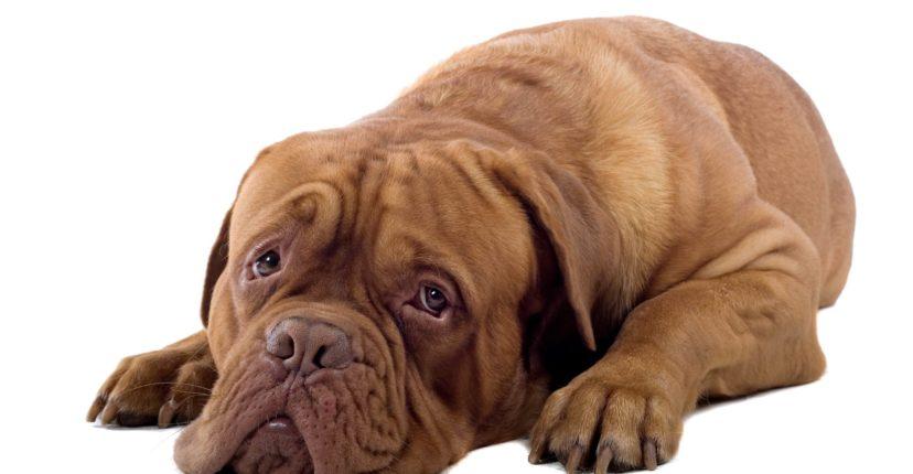 french mastiff dog isolated on white